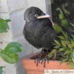 🐦  Jeune oiseau noir trouvé au sol