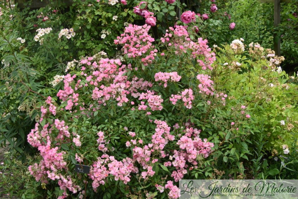rosier 'Pretty Pink'