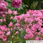 ❤ ❤ ❤ Focus sur le rosier 'Pretty Pink'