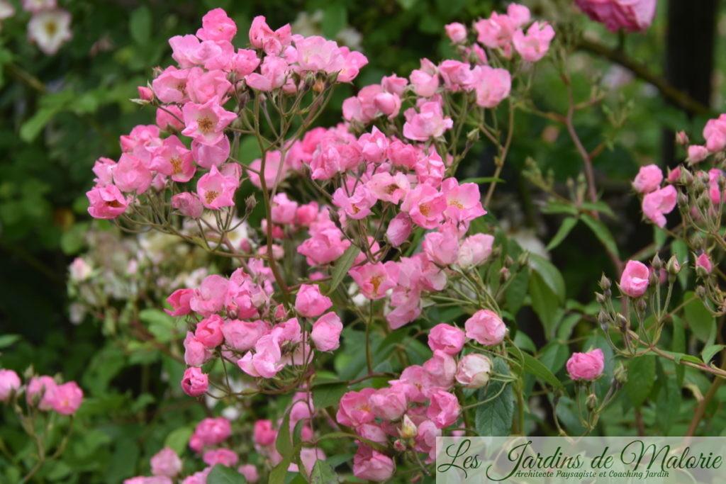rosier 'Pretty Pink', Hybride Moschata, L. Lens