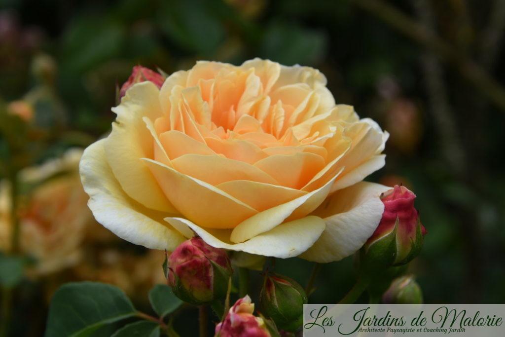 rosa 'Teasing Georgia'