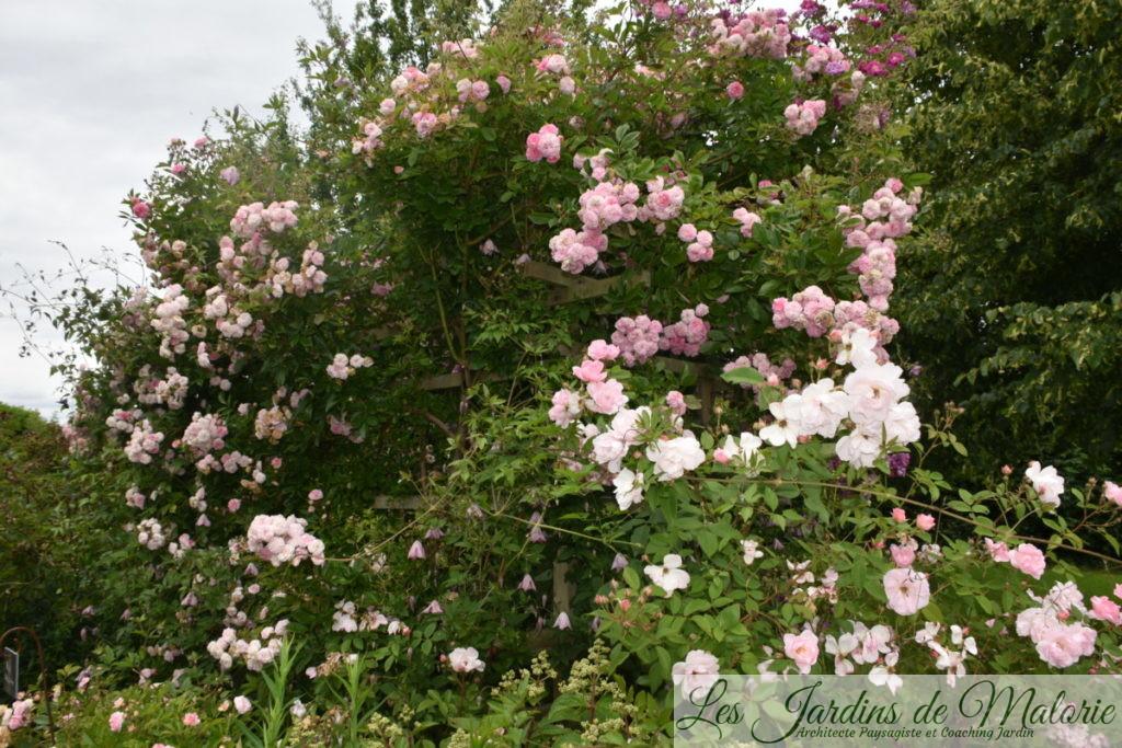 rosier 'Pink Ghislaine de Féligonde'