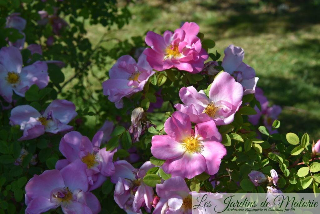 rosier 'Marguerite Hilling', Rosa (x) moyesii 'Marguerite Hilling', (Pink Nevada)