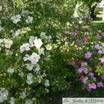 ❤  Focus sur les rosiers 'Nevada' & 'Marguerite Hilling'