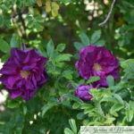 ❤ ❤  Focus sur le rosier 'Hansa'