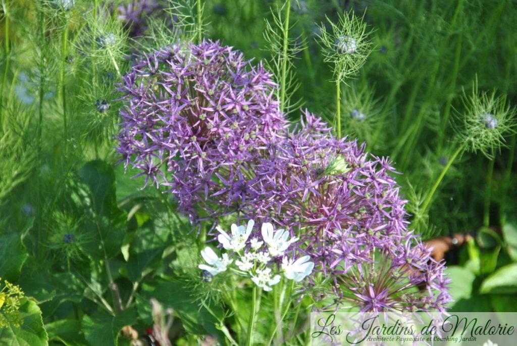 allium 'Violet Beauty' , nigelles de Damas et orlaya grandiflora