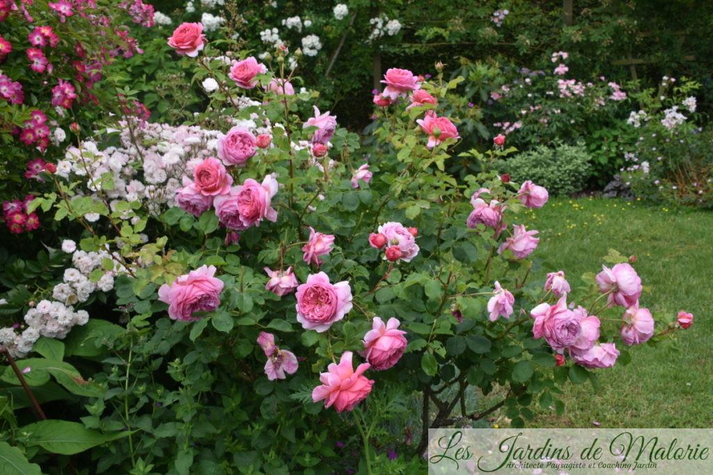 rosiers 'Petite de Terre Franche ' et 'Princesse Alexandra of Kent'