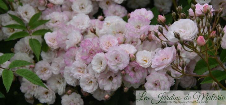 ❤ ❤ ❤ Focus sur le rosier 'Petite de Terre Franche'