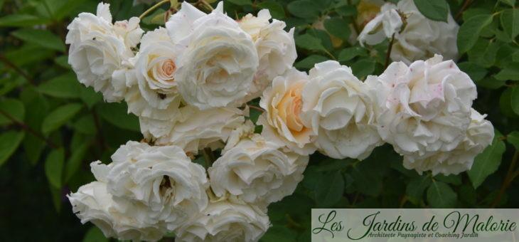 ❤ ❤ Focus sur le rosier 'Poustinia'
