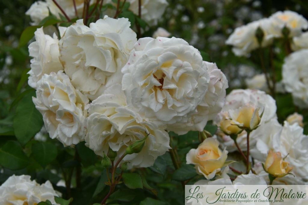 rosier 'Poustinia'