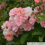 ❤ ❤ ❤ Focus sur le rosier 'Souvenir d'Adolphe Turc'