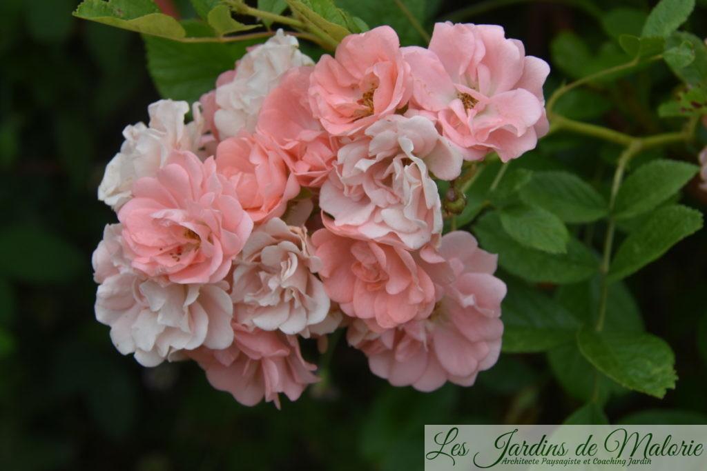 rosier 'Souvenir d'Adolphe Turc'