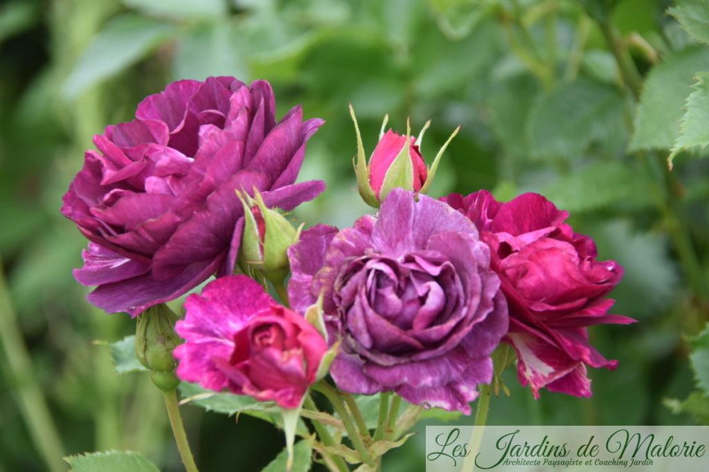 rosier 'Mystérieuse'