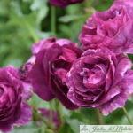 ❤ ❤ ❤ Focus sur le rosier 'Mystérieuse'