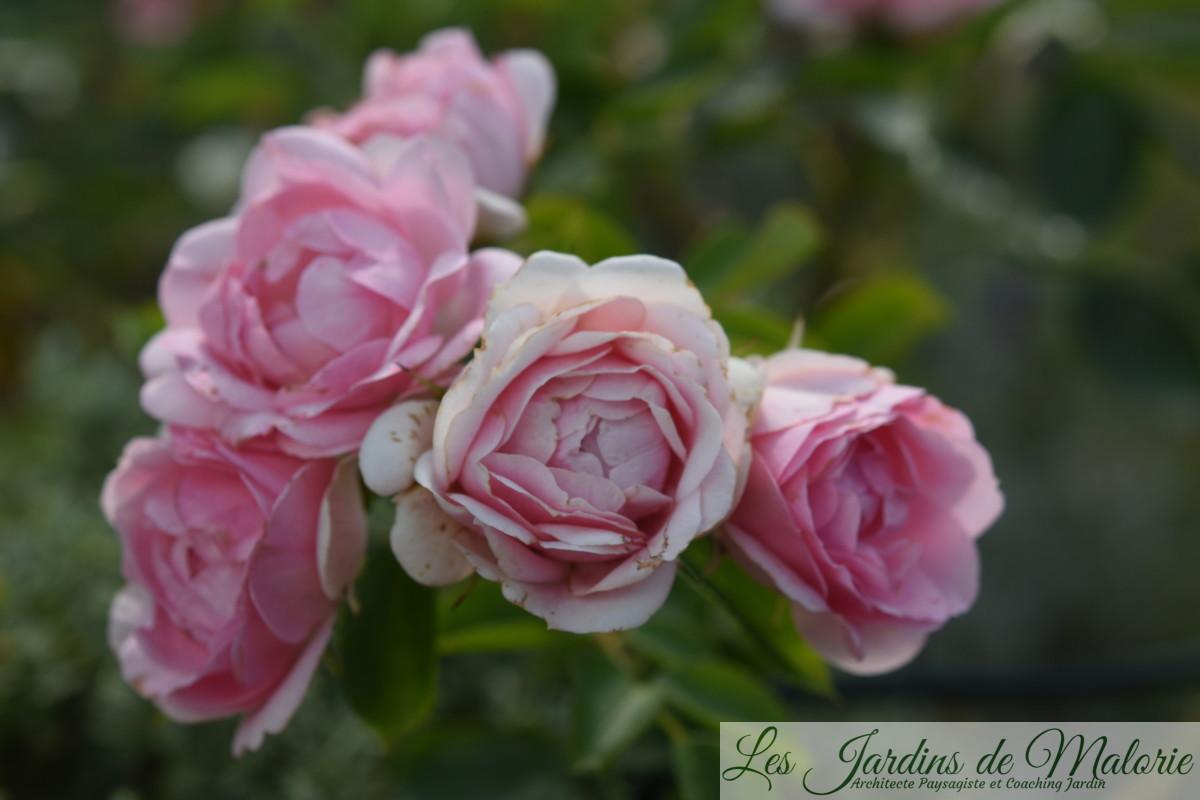 rosier 'Jardins de Valloires', obtenteur : Eve par André Eve 1993 (FR)