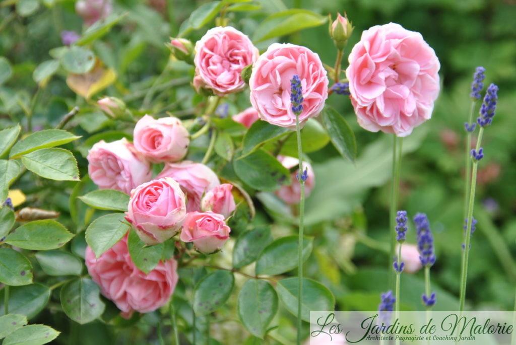 rosier 'Jardins de Valloires'