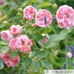 ❤ Focus sur le rosier 'Jardins de Valloires'