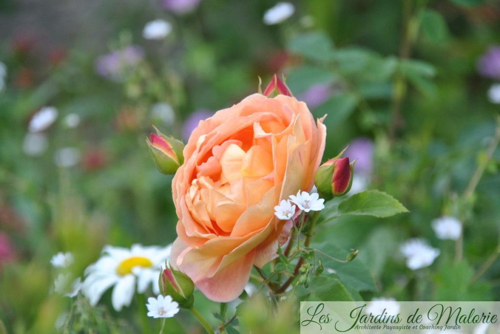rosier 'Lady of Shalott'