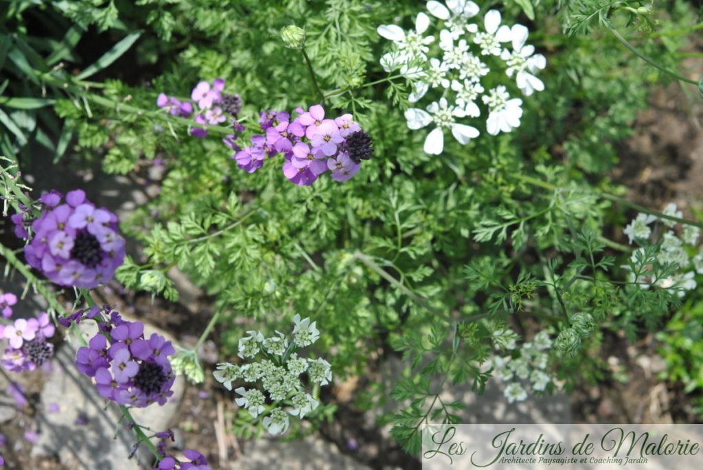 orlaya grandiflora et erysimum 'Bowles mauve'