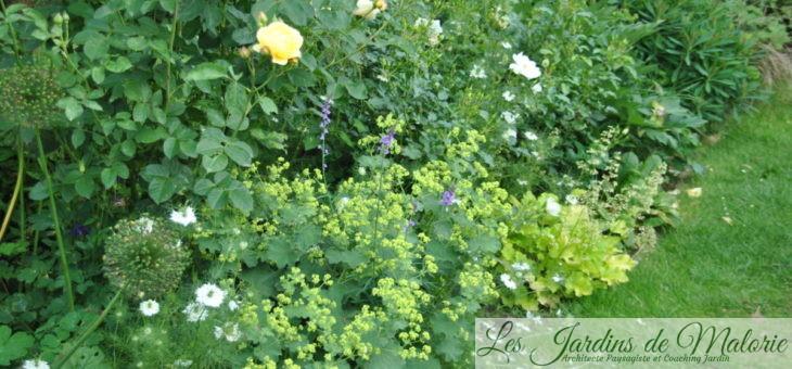 Mes indispensables : l'Alchemille, parfaite compagne pour les roses!