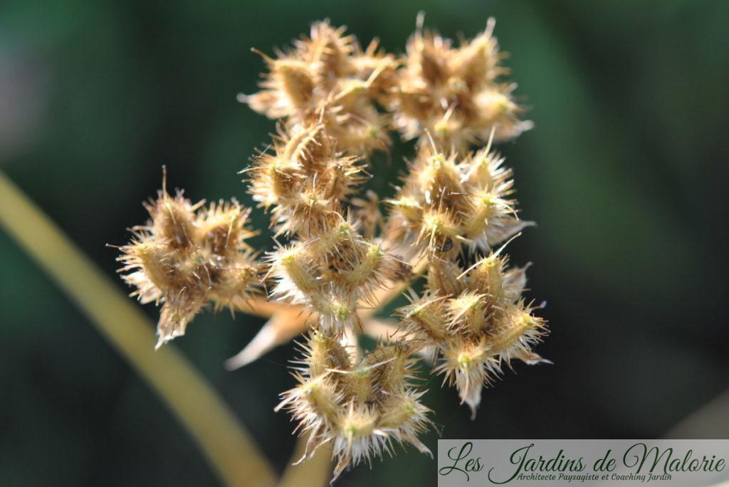 graines d'orlaya grandiflora