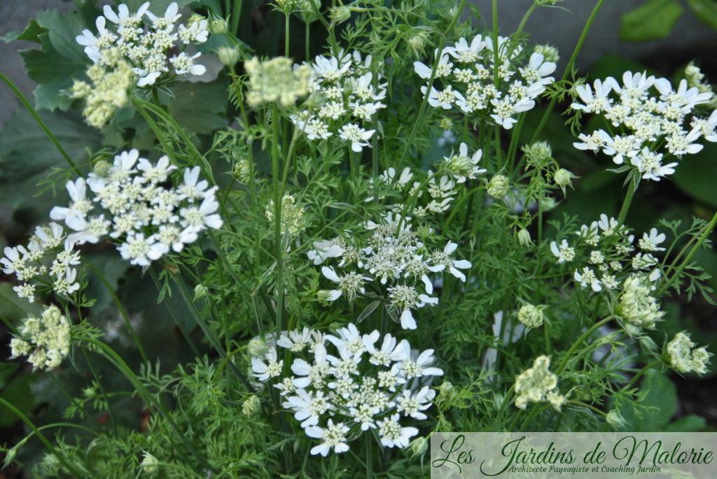 orlaya grandiflora 'White Finch' de Jocelyne