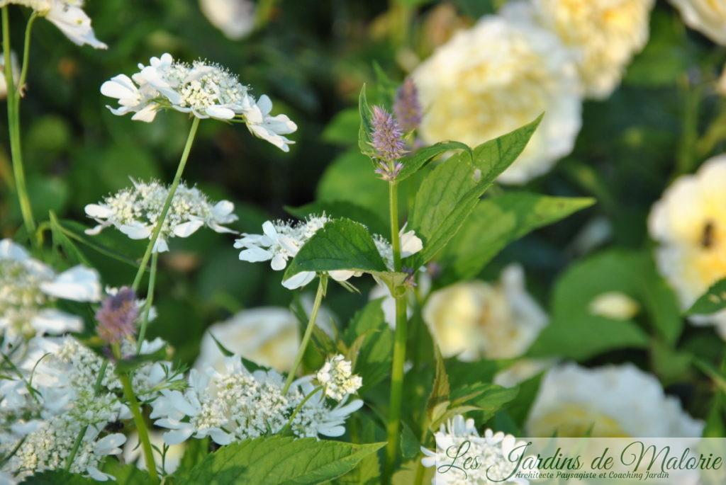 Orlaya grandiflora et agastache