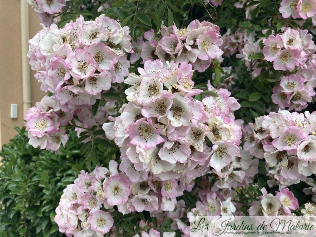 rosier 'Kew Rambler'
