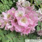 ❤ ❤ ❤ Focus sur le rosier liane 'Kew Rambler'