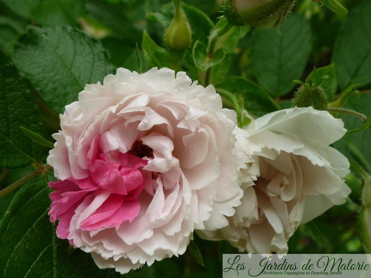 mutation sur le rosier 'White Grootendorst'