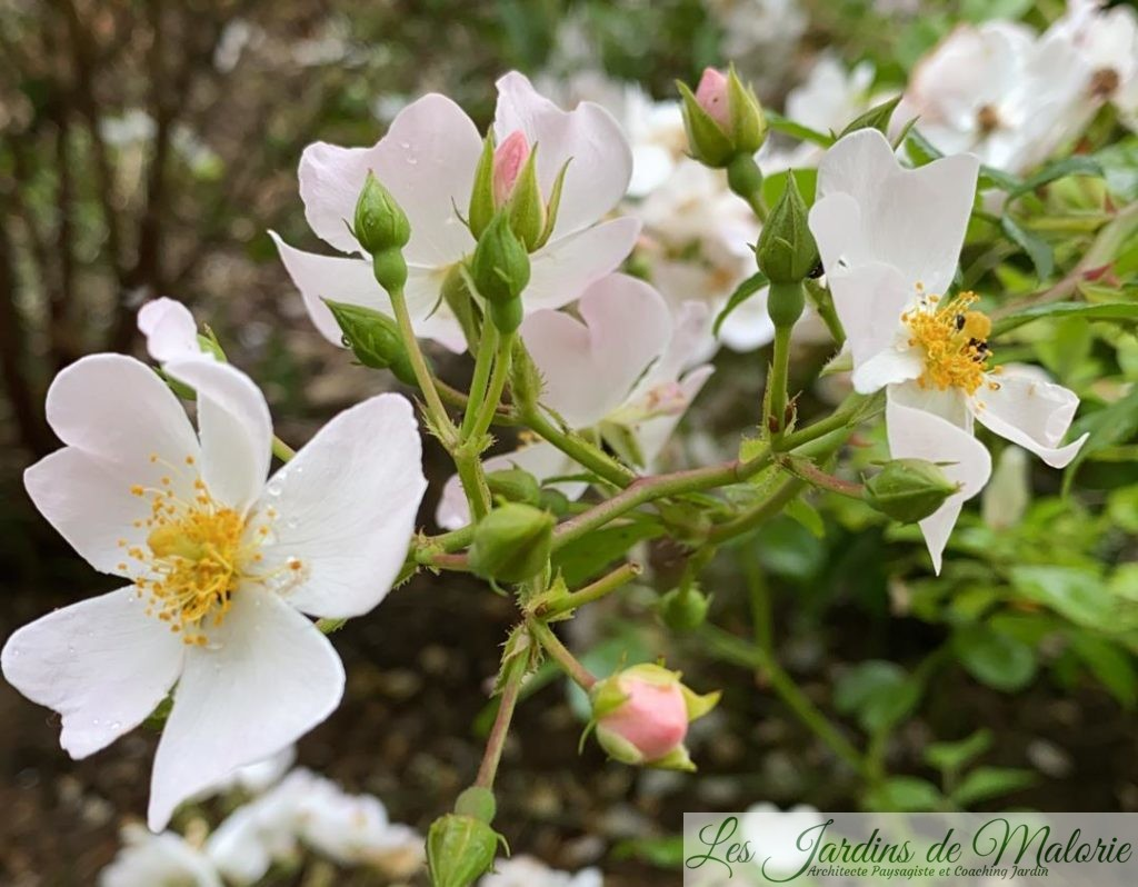 rosier 'Apfelblute'