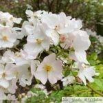 ❤ ❤ ❤ Focus sur le rosier 'Apfelblute'