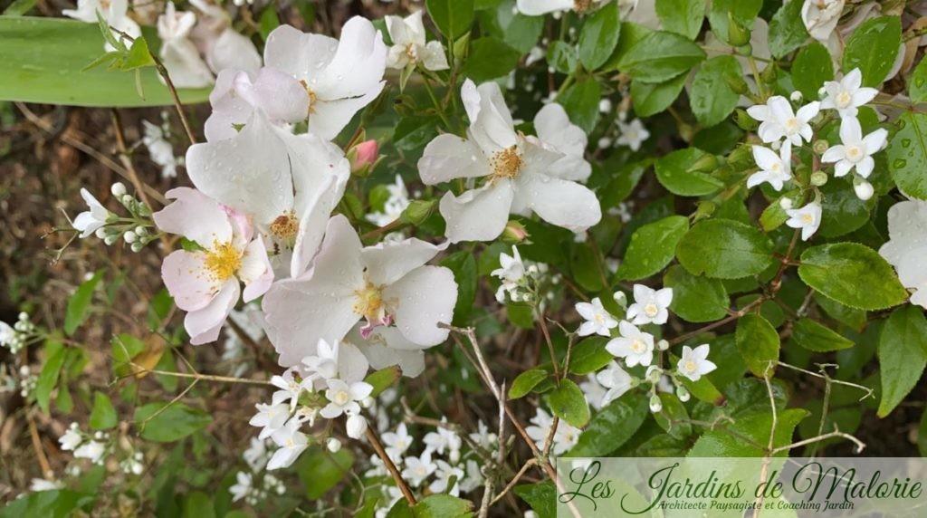 rosa 'Apfelblute' et deutzia setchuenensis var. corymbiflora