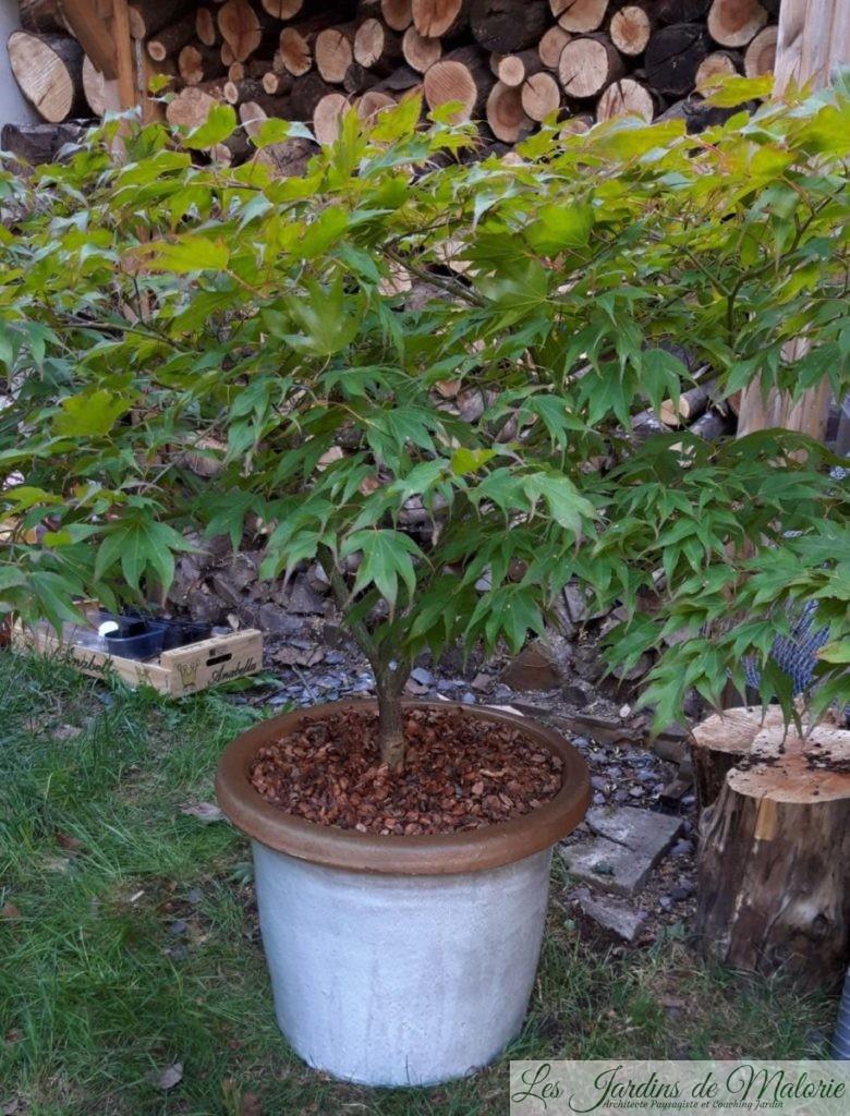 érable en pot
