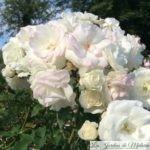 ❤ ❤  Focus sur le rosier 'Midsummersnow'