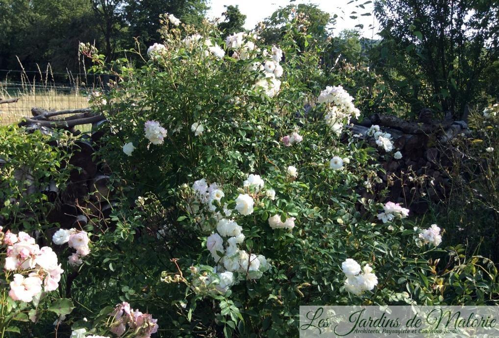 rosier 'Midsummersnow'