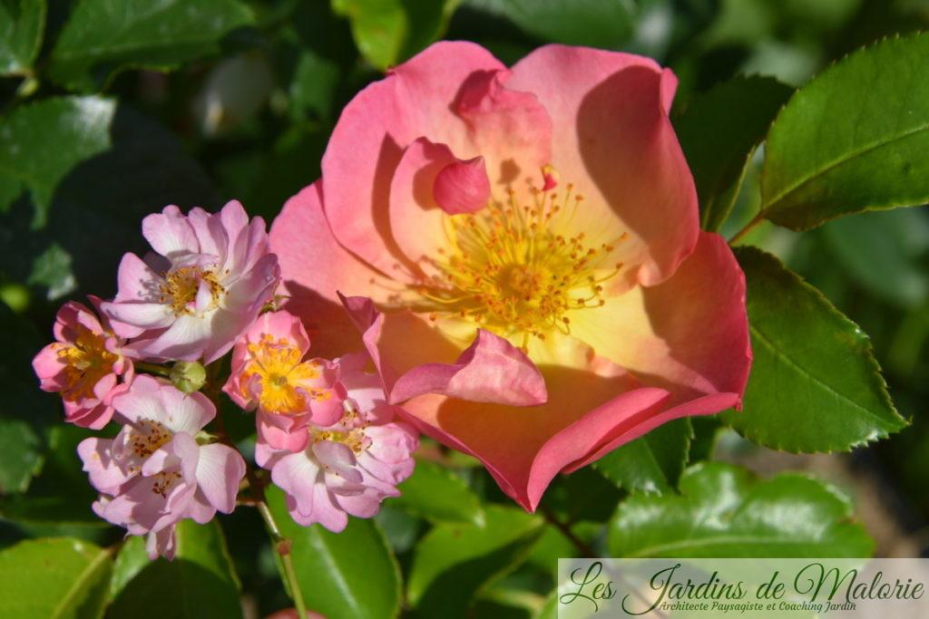 rosiers 'Belle des Fagnes' (D. Schmitz) et 'Lambert Wilson (J. Rateau pour Eve)