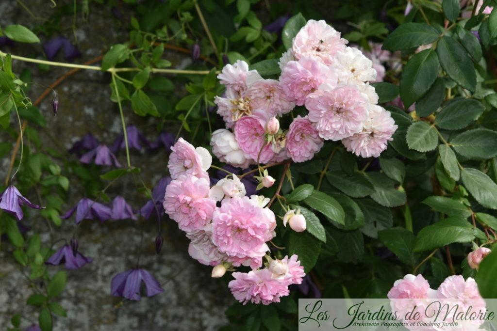 clématite 'Little Bas' et rosier 'Belle de Sardaigne'