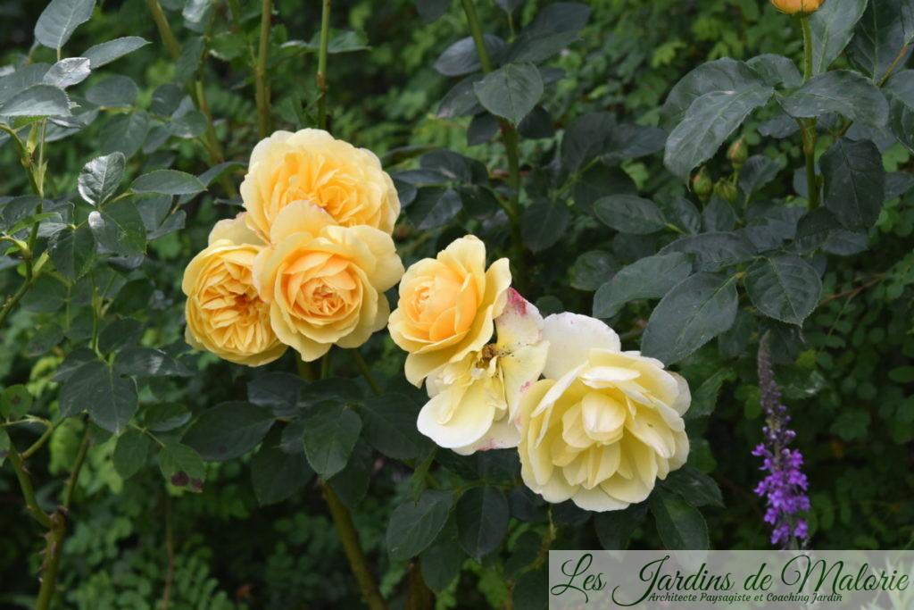 rosier 'Graham Thomas'