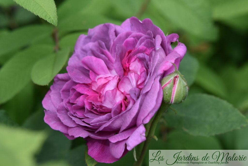 rosier 'Reine des Violettes'