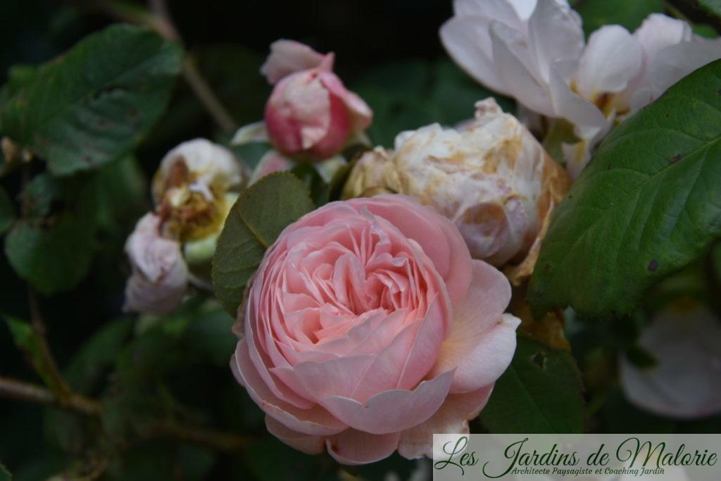 rosier 'Geoff Hamilton'
