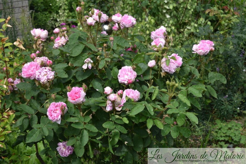 rosier 'Salet'