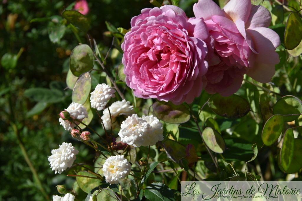 rosier 'Little White Pet' et 'Princesse Alexandra of Kent'