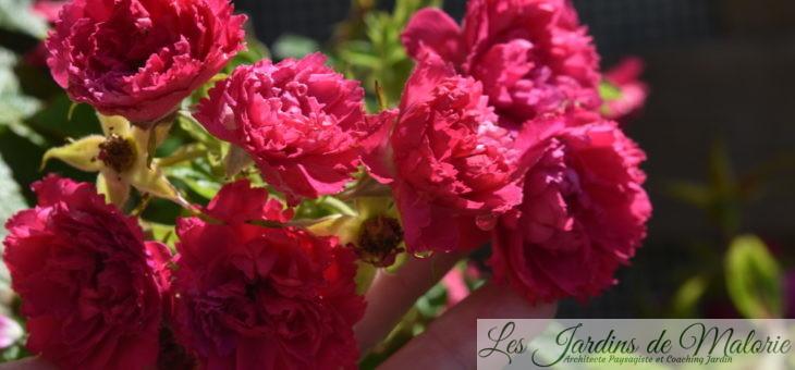 ❤ ❤  Focus sur le rosier 'F.J. Grootendorst'