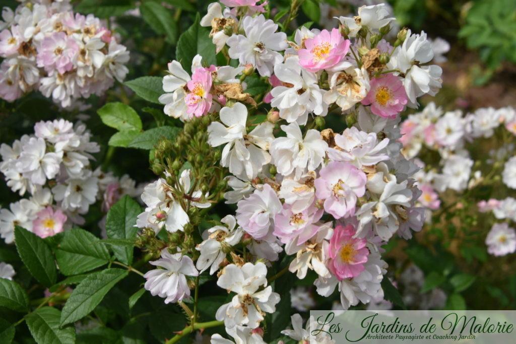 rosier ' Belle des Fagnes'