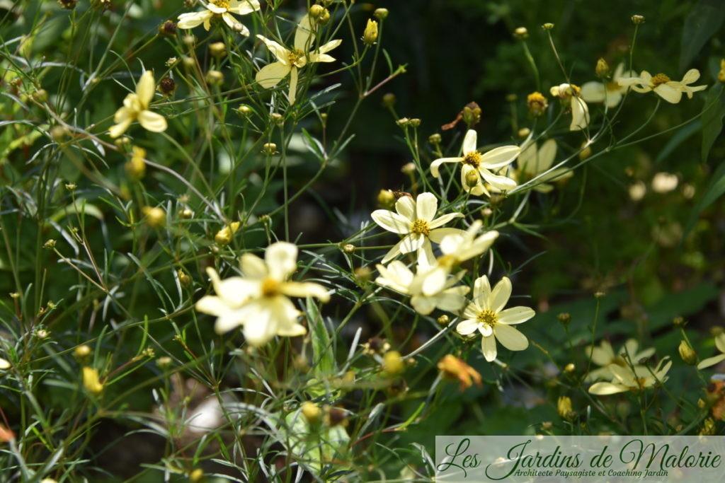 Coreopsis verticillata 'Moonbeam', Coréopsis verticillé (à feuilles en aiguilles)