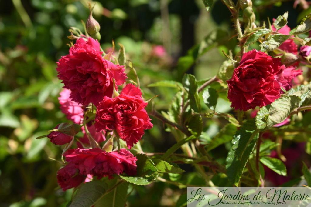 rosa rugosa F.J. Grootendorst'