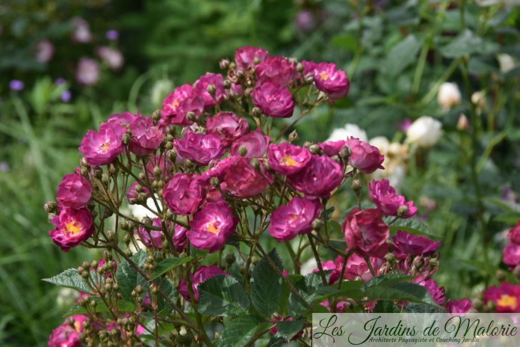 rosier 'Sibelius'