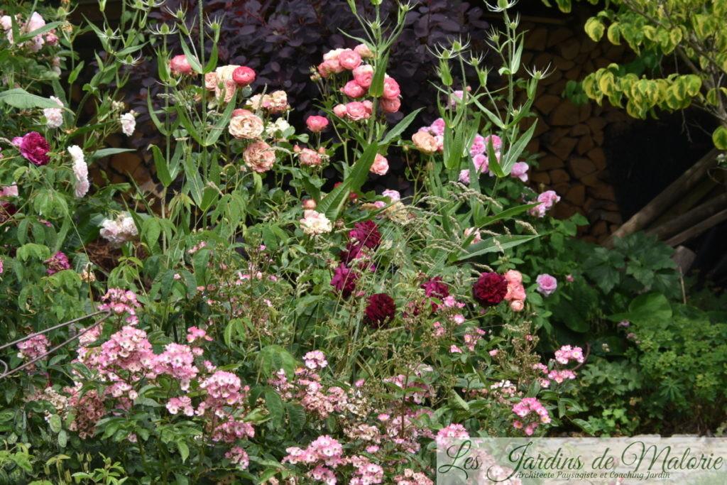 rosiers 'Puccini', 'Munstead Wood' et 'Acropolis'