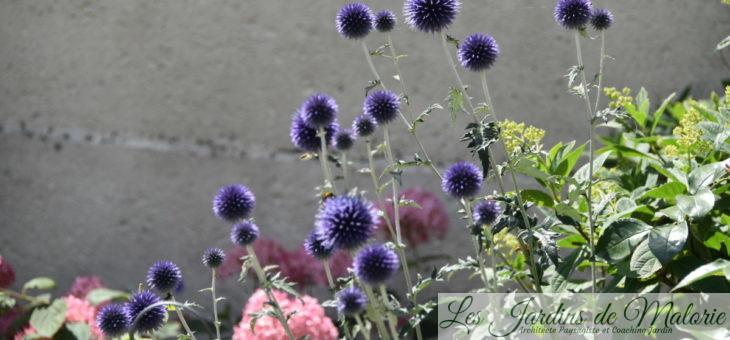 Chardon bleu (Echinops ritro)